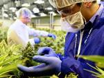 Tilray es una de las grandes empresas que se dedican a la comercialización del cannabis