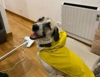 Terra, un perro gallego con un chubasquero de la colección de Zara de ropa para perros.