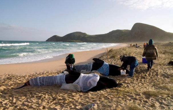 Un grupo de 66 ballenas piloto varadas de nuevo en el sur de Nueva Zelanda
