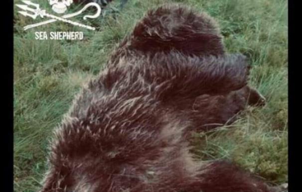 Se ofrecen 10.000 euros por identificar al responsable de la muerte de un oso en Ariège