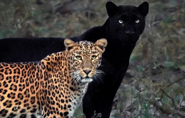 Un fotofrafo consigue la foto 'perfecta' de un leopardo y una pantera
