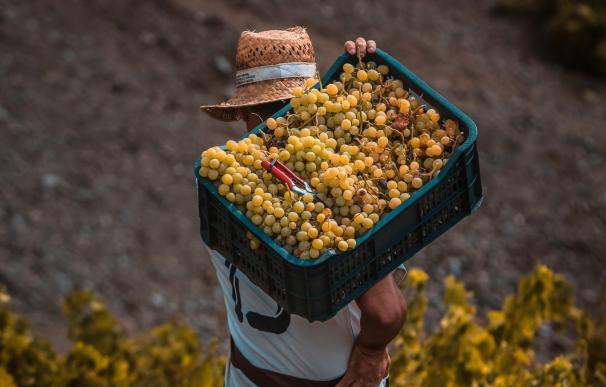 Un agricultor recoge uva durante la vendimia de la cosecha de 2020.