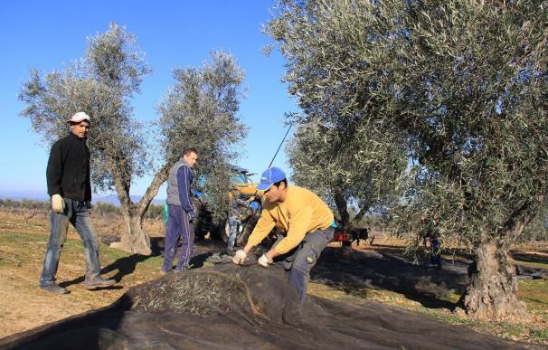 Imagen de una recogida de aceituna en el campo español durante esta temporada.