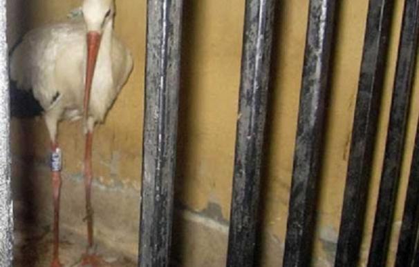Detained stork