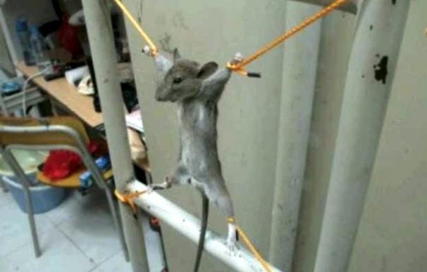 ratoncillo