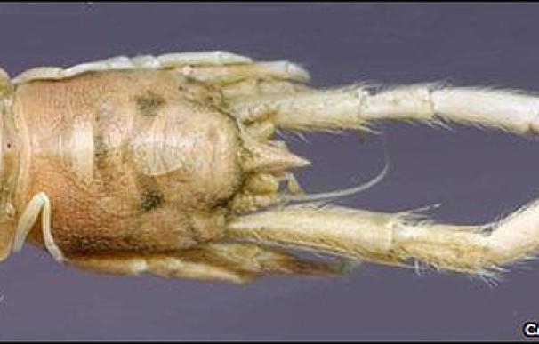 Munidopsis andamanica | BBC