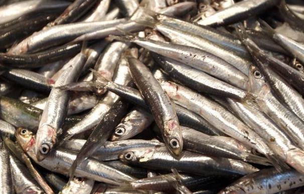 La CE ultima una nueva oferta pesquera que puede incluir el fin de la veda de anchoa