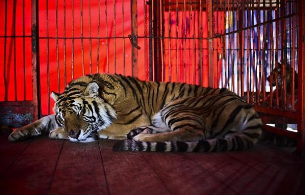 Un tigre descansa en la jaula de un circo Foto Getty