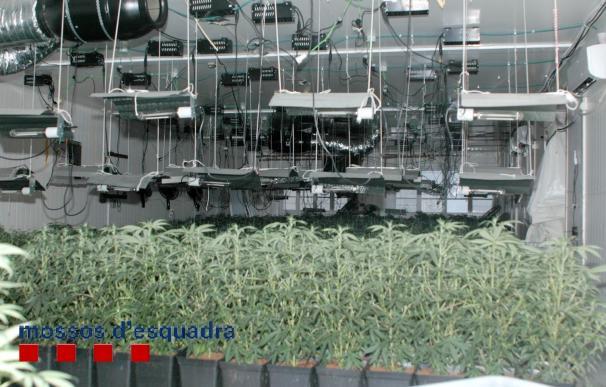 Tres detenidos en Palamós por tener 636 plantas de marihuana en una nave