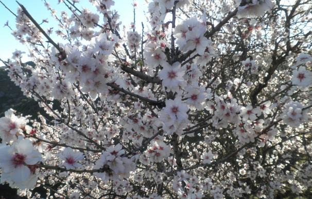 Los almendros han adelantado casi 20 días su floración este invierno por las altas temperaturas, según experto del CEBAS