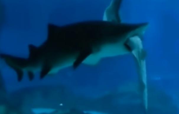 Tiburón tigre engulle a otro en Corea del Sur (Youtube)