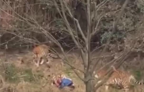 Tigres de un zoo de China matan a un hombre ante la mirada horrorizada de su mujer y su hijo