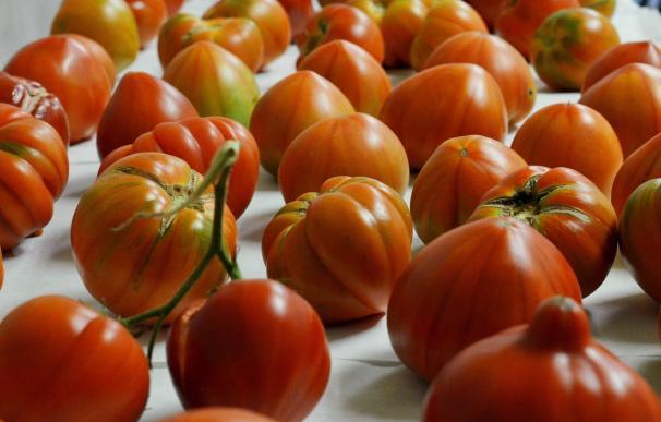 Un estudio extremeño trata de controlar la juncia, una mala hierba que daña al tomate, el pimiento y el tabaco
