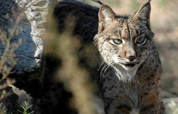 """WWF muestra """"indignación"""" y pide reunión a Fomento tras morir cuatro linces, tres atropellados, en lo que va de año"""