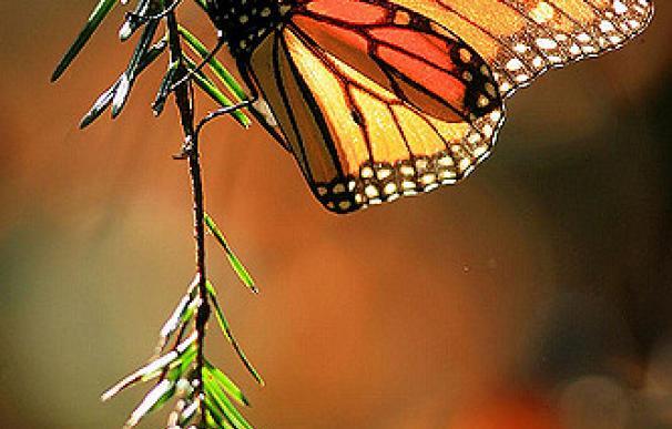 Descubren el sistema de navegación de las mariposas Monarca | Mario Vazquez, Flickr