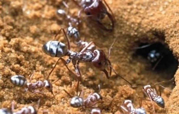 Las hormigas se besan para hacer crecer y dirigir el futuro de su colonia
