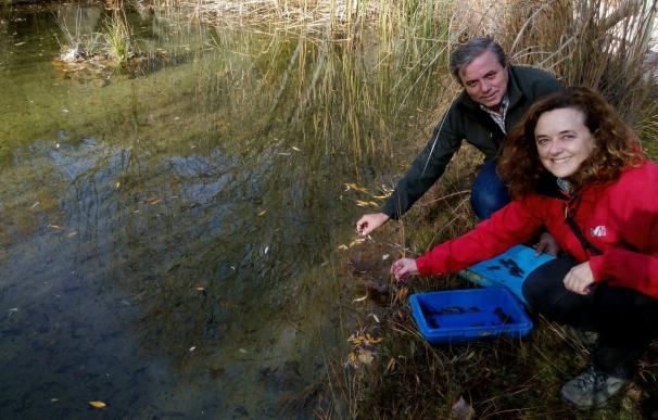 La Junta reintroduce 1.200 ejemplares de cangrejo de río autóctono en el Parque de Cazorla, Segura y Las Villas