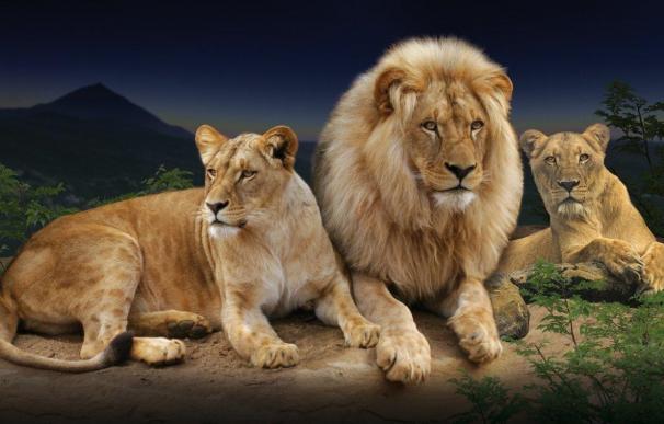 Loro Parque (Tenerife) contará con tres leones africanos, especie en peligro de extinción