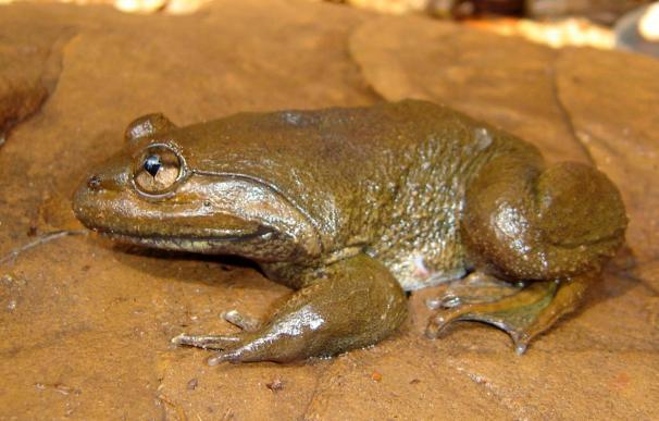 El Fondo de la Naturaleza registra 163 nuevas especies, incluida una rana con colmillos