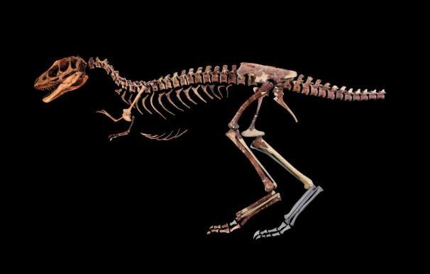 Descubren un antepasado en miniatura del terrible Tyrannosaurus rex