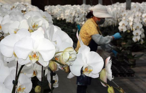 Taiwán es el primer exportador mundial de orquídeas