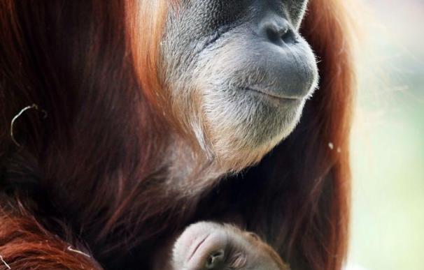 Secuencian el genoma del orangután, con coincidencias del 97 por ciento con el humano