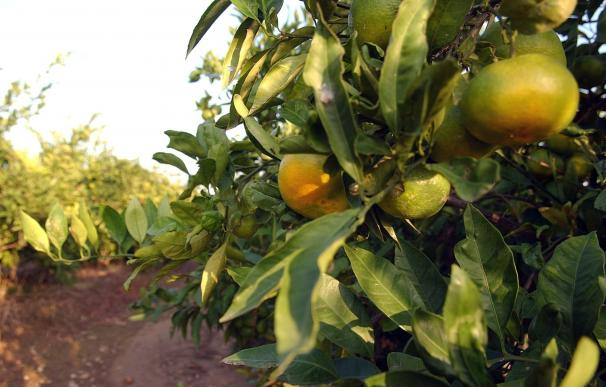 La campaña de la naranja se encuentra al 85% con una producción estimada de unas 180.000 toneladas