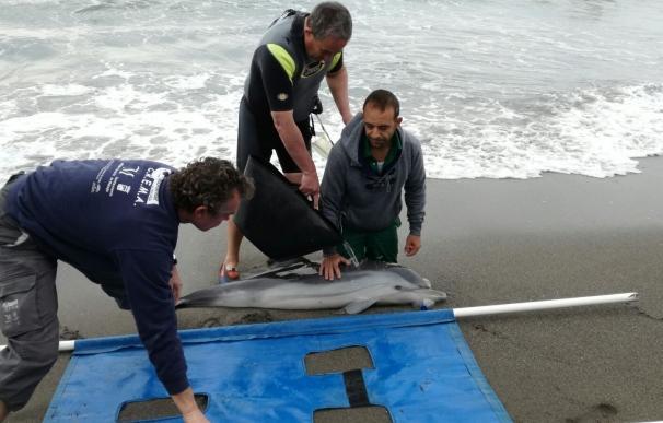 El Aula del Mar de Málaga registra ocho varamientos de tortugas y cetáceos en las costas en el mes de abril
