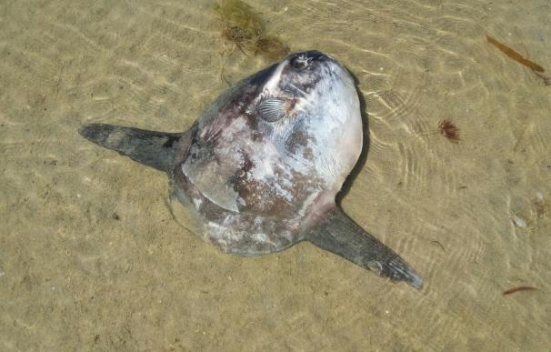 Aparece en la Marisma de Baldaio (A Coruña) un ejemplar de pez luna tropical