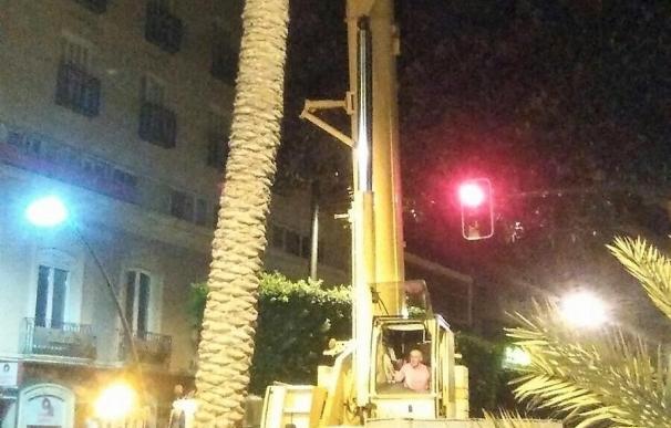 El Ayuntamiento tala la palmera de 18 metros del Paseo por su afección al ficus centenario de la capital