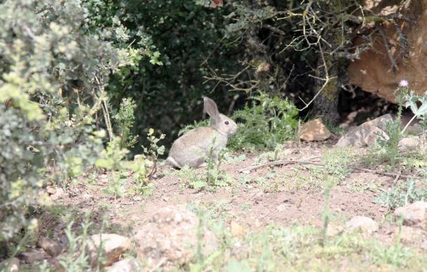 Publicada en BOJA la resolución para medidas cinegéticas especiales por daños del conejo silvestre