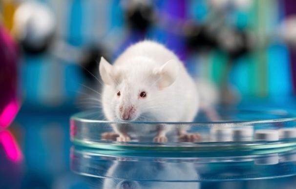 Investigadores demuestran en ratones que pueden revertir la pérdida de memoria
