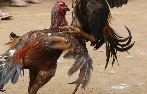 Desmantelada una casa de apuestas que organizaba peleas de gallos dopados