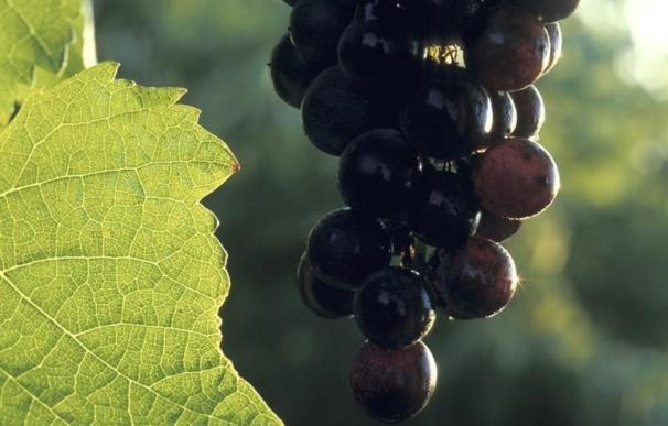 """Comienza la vendimia con una previsión de un 25% más de cosecha, hasta 70 millones de kilos de uva """"de calidad"""""""