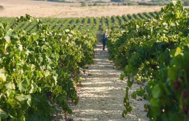 Bodegas Barbadillo prevé una recolecta de 10 millones de kilos de uva palomina en la vendimia en Sanlúcar