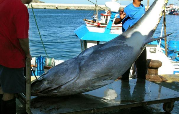 España logra adaptar a la cautividad los atunes juveniles rojos del Atlántico
