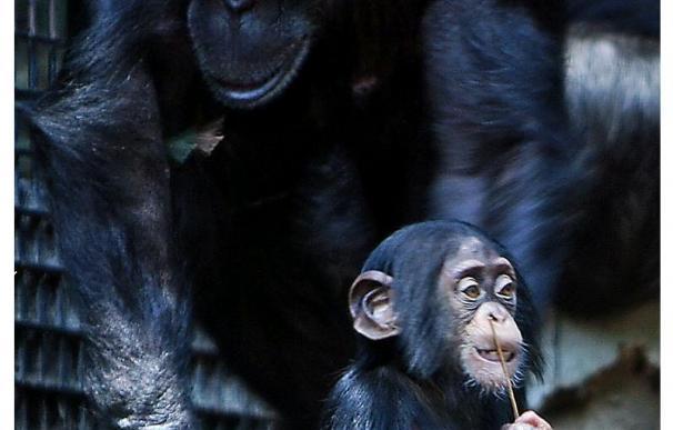La chimpancé XT11 ha conseguido sobrevivir 23 meses gracias al cuidado de su madre