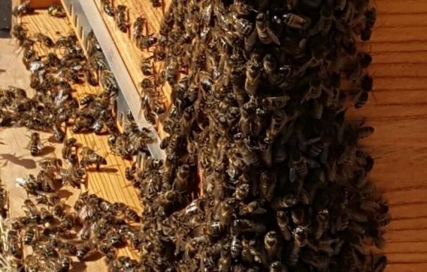La exposición continua a los neonicotinoides afecta negativamente a las abejas en su reproducción y supervivencia