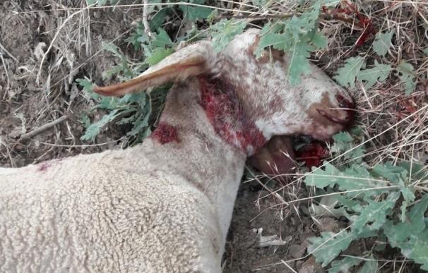 UPA-COAG alerta de un nuevo ataque de lobos a ovejas en Luelmo (Zamora) con once animales muertos