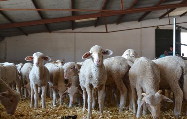 La finca La Cocosa de la Diputación de Badajoz subasta 154 hembras y 18 machos ovinos de pura raza merina