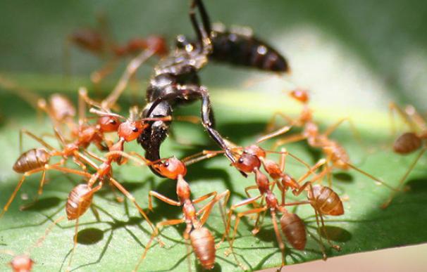 Hormigas tejedoras en Gabón (Axel Rouvin, Wikimedia Commons)