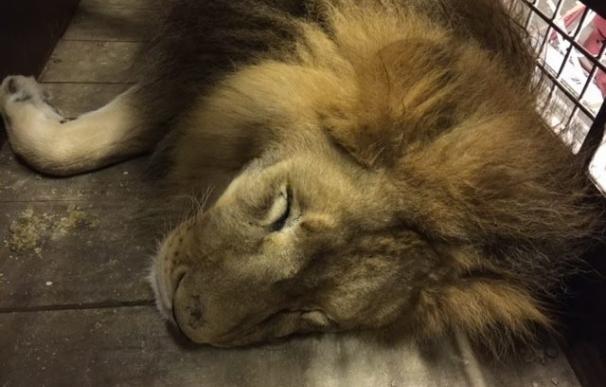 Una ONG animalista libera a 33 leones de circos en Perú y Colombia y los traslada a Sudáfrica