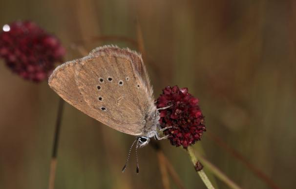 La Montaña Palentina, refugio de la mariposa hormiguera, una rareza amenazada protegida por ganaderos y naturalistas