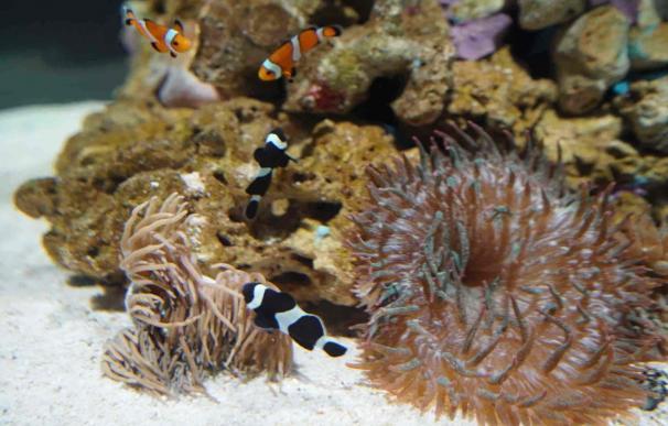 El Oceanogràfic de Valencia estrena un nuevo acuario cilíndrico 'Nemo' dedicado a los peces payaso