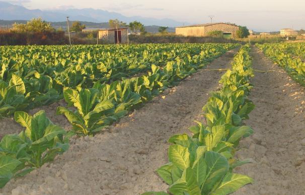 La contratación de tabaco en España esta campaña asciende a 30.011 toneladas, cantidad similar a los dos últimos años