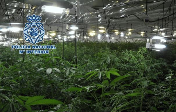 Detenido un joven tras intervenirle más de 650 plantas de marihuana en Lucena