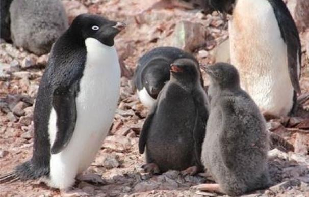 El desgaste físico de hembras de pingüino es mayor cuanto más número de crías y los machos sufren más con un solo pollo