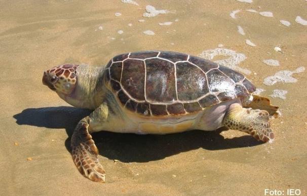 Las migraciones de las tortugas bobas en el Mediterráneo podría estar cambiando, según el IEO