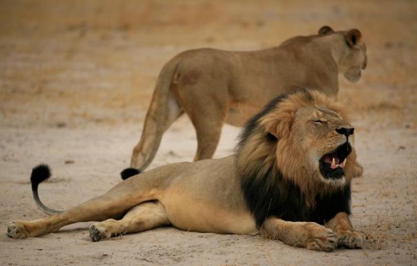 León y leona (foto de archivo)