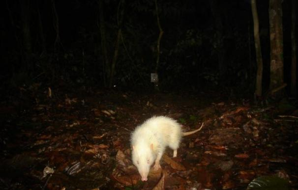 Rata lunar (Borneo)